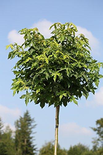 Amberbaum, Liquidambar styraciflua Gumball, Höhe: 250 cm (Stammhöhe: 180 cm) +...