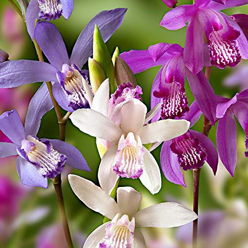 3x Bletilla striata | Orchideen Blumenzwiebeln Winterhart | Sommerblüher...